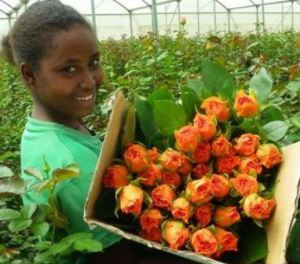 This is a teenage girl working in Dugda Flower Farm. This was owned by her father in Dugda area...and taken away by the Ethiopian governemnt and given to a TPLF affiliate businessman...now she works as a labourer in this farm being paid under half a dollar a day...