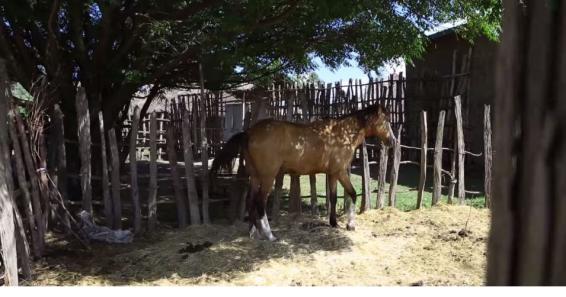 Hacaaluu Hundessa, Oromo culture music video maalan jira picture24