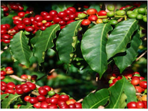 Coffee (Buna) originated from Oromia