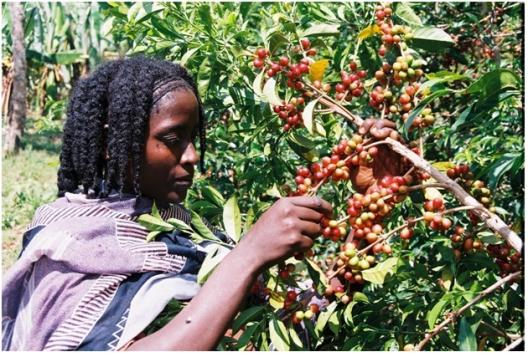 Oromia coffee, Buna Oromia (Arabica coffee)