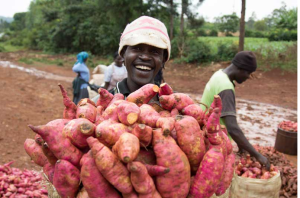 Study on Agroecology (OAKLAND INSTITUTE) in Africa Sweet potato harvest. Credit to Aminah Jasho, KHCP.