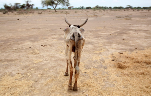 An emaciated cow walks through a dry field in Ethiopia's famine