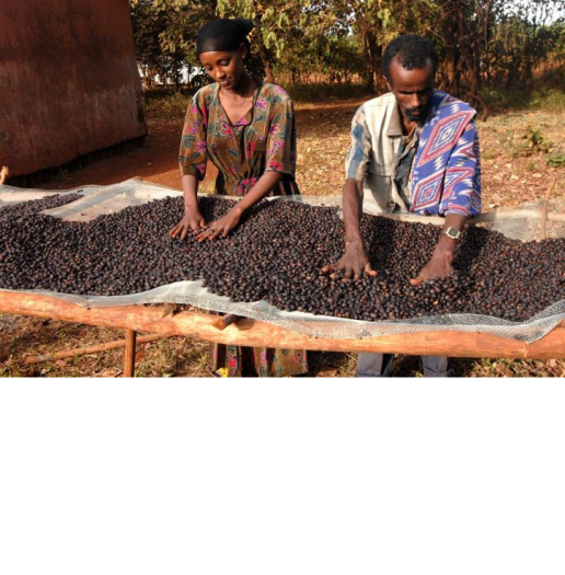 oromo-family-farm-coffee-production